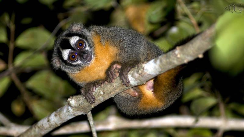 macaco aotus no galho