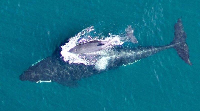 filhote de orca