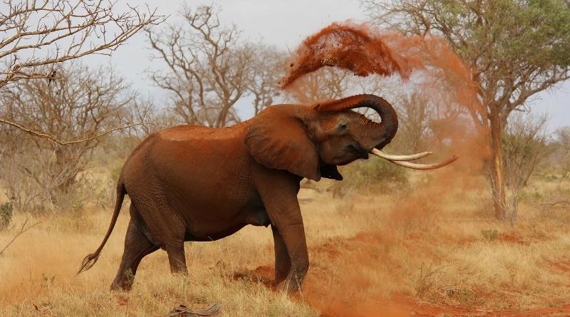 Grandes mamíferos: elefante no Cerrado exerceria papel que já foi de mastodontes