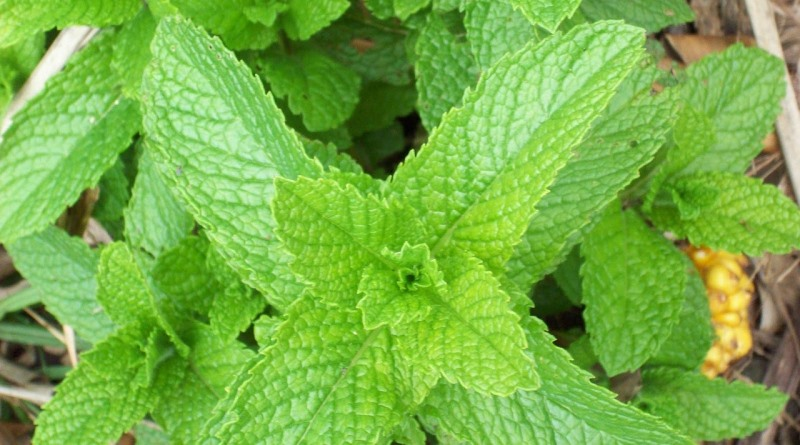 hortelã é uma das ervas aromáticas