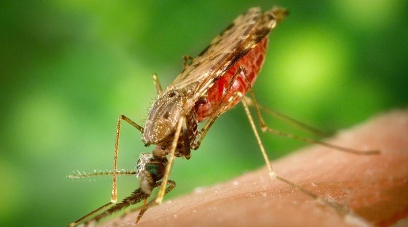mosquito da malária