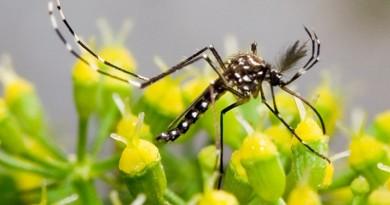 mosquito transmissor do zika virus
