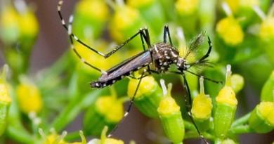 aedes aegypti, mosquito transmissor do Zika vírus, dengue e Chikungunya