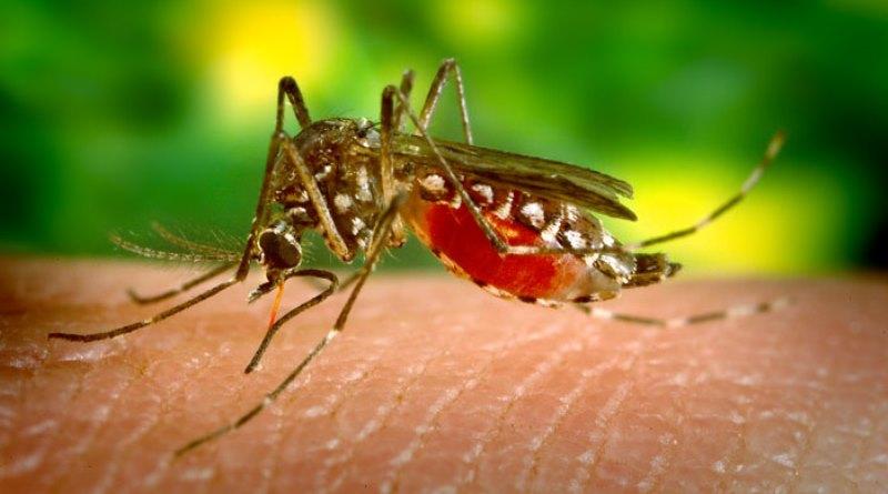 aedes aegypti, mosquito transmissor do Zika vírus