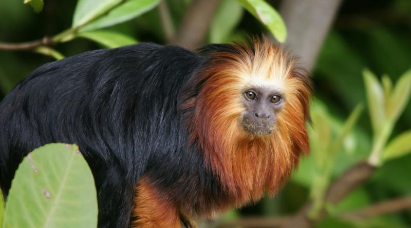 mico-leao-da-cara-dourada-800
