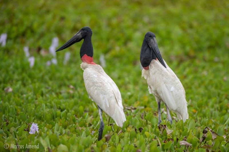 experiencia-fotografica-pantanal-marcos-amend-6x