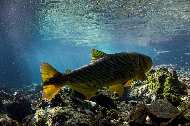 fotografia-no-pantanal-joao-marcos-rosa-dourado-durante-flutuacao-no-rio-da-prata-800