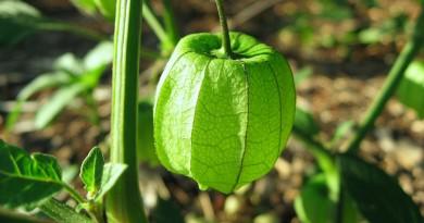 planta usada pelos indígenas como remédio no tratamento da malária