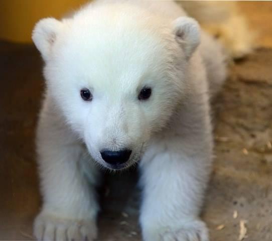filhote de urso polar