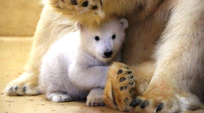urso-polar-zoo-alemanha-800