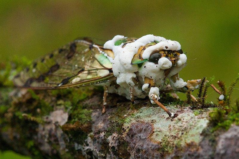 mata-atlantica-cigarra-fungos-petar-daniel-de-granville