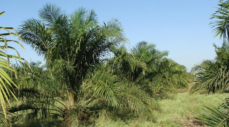 oleo-de-palma-ameacam-florestas-tropicais-de-20-países-brasil-entre-eles