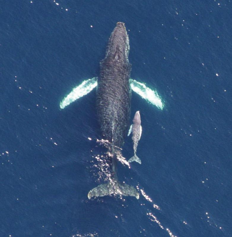 baleia-jubarte-filhote-800