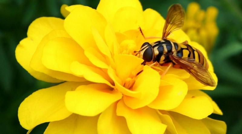 abelhas-em-risco-de-extincao-foto-james-de-mers-pixabay-800