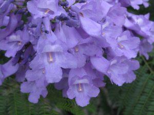 flor-jacaranda