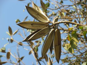 fruto-spathodea