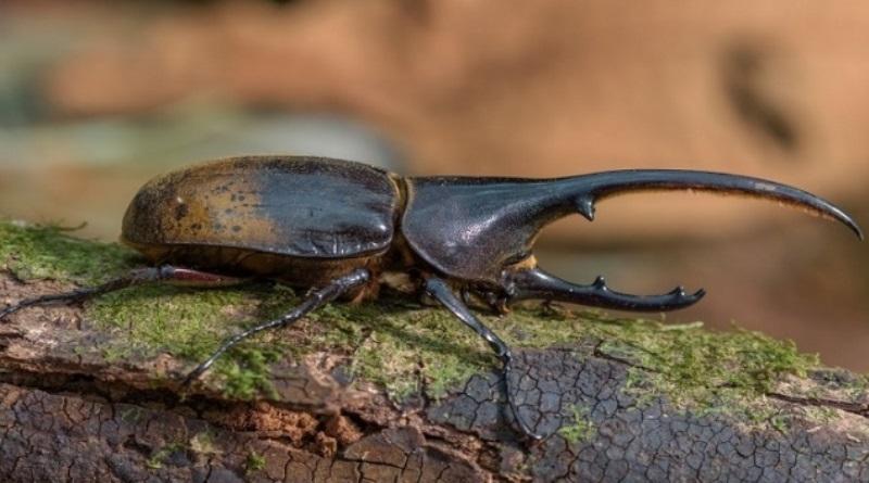 inseto encontrado na Floresta Amazônica