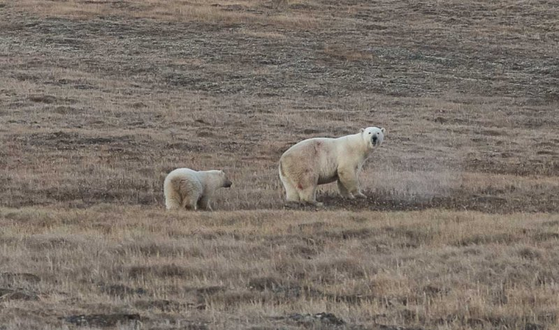 urso-polar-lata-boca-2-conexao-planeta