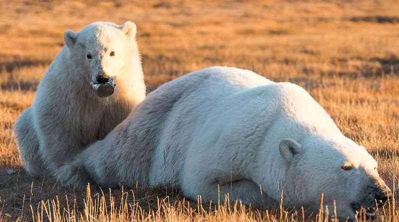 urso-polar-lata-boca-conexao-planeta