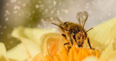 Pesticidas afetam memória e poder de polinização das abelhas