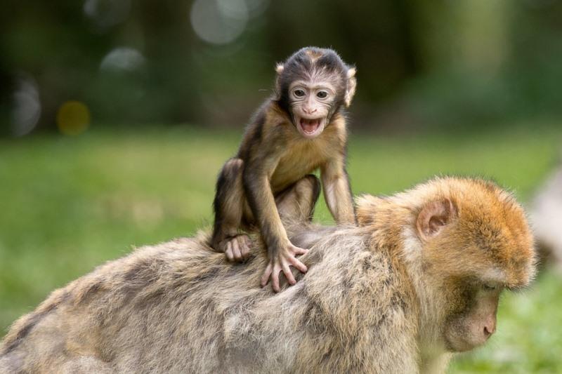 300 espécies de primatas estão à beira da extinção