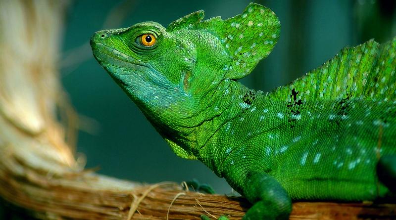 Basilisco: o lagarto que corre na superfície da água