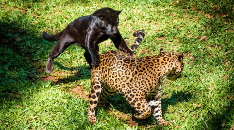 Filhotes de onça-pintada nascem em Refúgio Biológico de Foz do Iguaçu