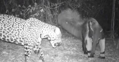 Câmera oculta registra embate entre onça e tamanduá no Maranhão