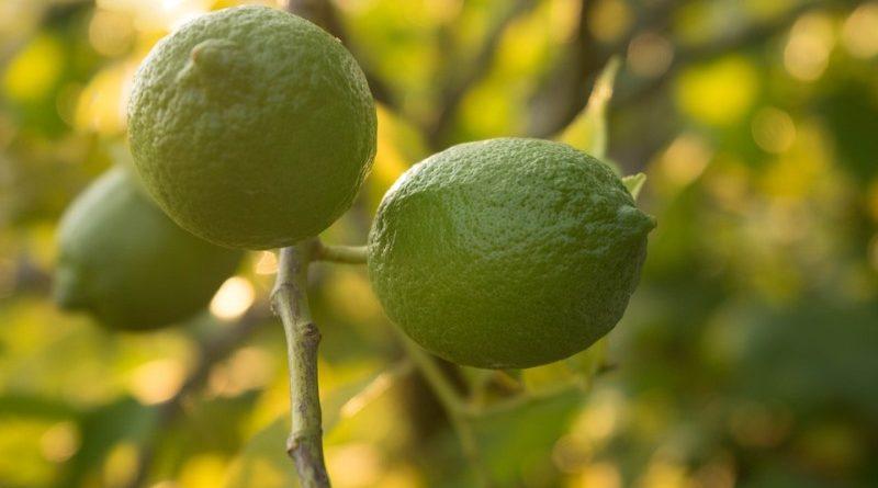 pé de limão