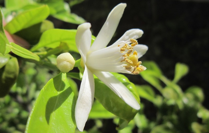 flor de limão