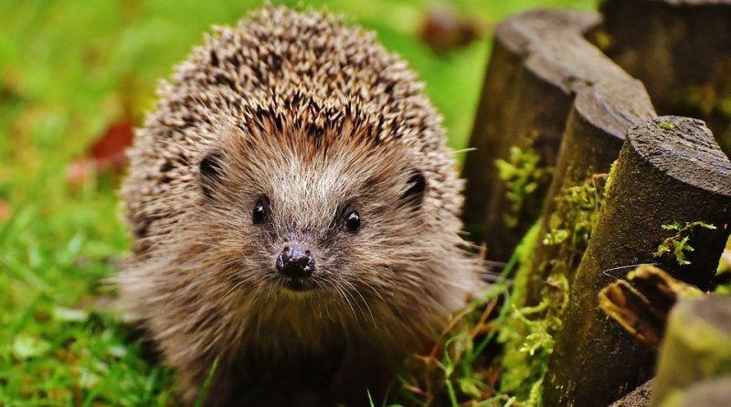 Ouriços: fofos, mas quase extintos no Reino Unido