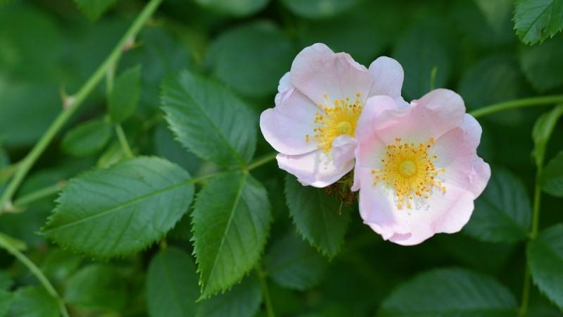 roseira singela