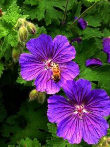 Censo de abelhas mobiliza britânicos em aplicativo no celular
