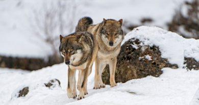 Manada de lobos selvagem aparece na Dinamarca após 200 anos