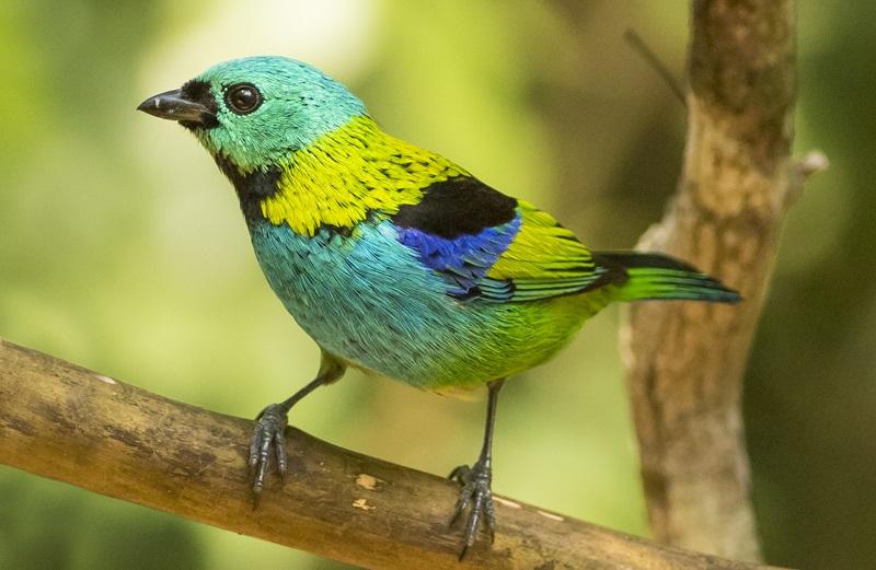 Poster das aves da Mata Atlântica ganha novo volume