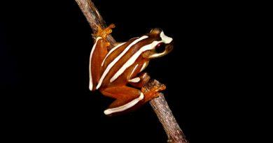 Pesquisadores identificam novas espécies de anfíbios na Bahia
