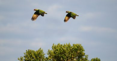 Censo mostra aumento de papagaios-de-cara-roxa no litoral do Paraná e São Paulo
