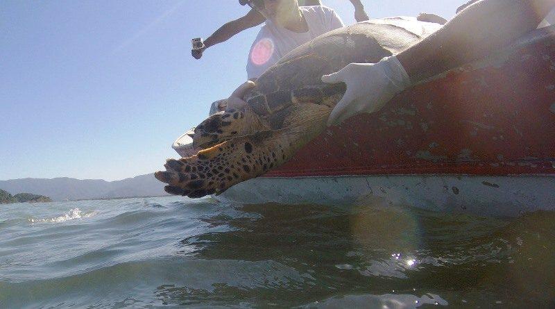 Após resgate e tratamento, tartarugas são devolvidas ao mar no litoral de São Paulo