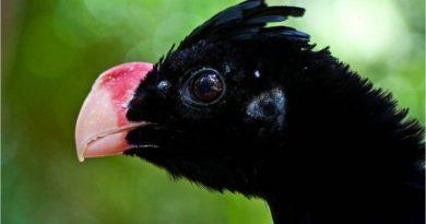 Depois de 30 anos extinto, mutum-de-alagoas é reintroduzido na natureza