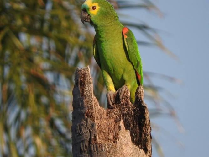 Mais de 200 filhotes de papagaios-verdadeiros são resgatados do tráfico de animais