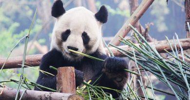 Panda gigante (ainda) em risco