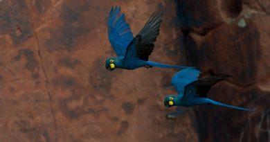 Censo mostra recuperação da população da arara-azul-de-lear na Bahia