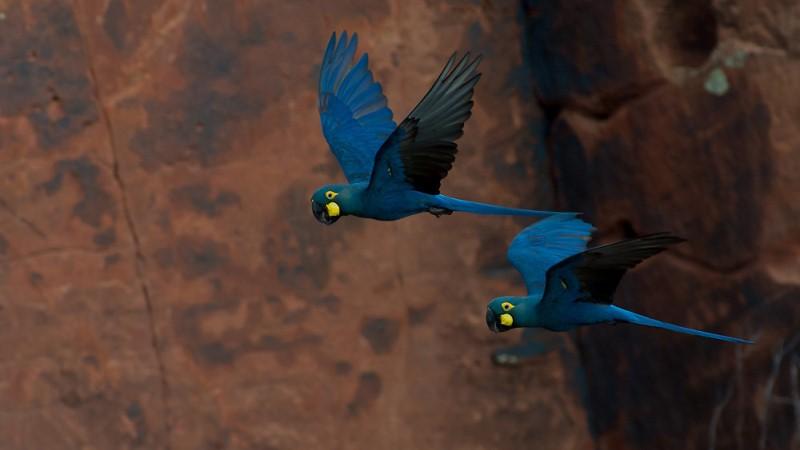 Muito Censo mostra recuperação da população da arara-azul-de-lear na Bahia WN25
