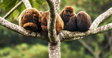 Febre amarela mata todos os macacos bugios do Horto Florestal em São Paulo