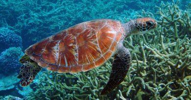 Oceanos mais quentes estão provocando somente nascimento de tartarugas fêmeas