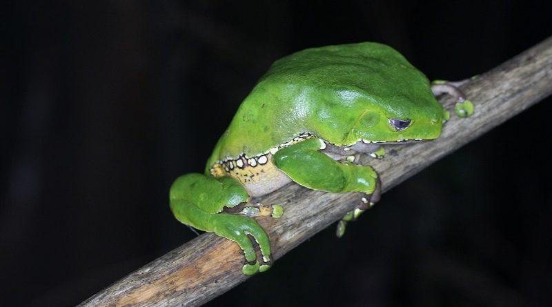 Sapo amazônico pode ajudar na luta contra as superbactérias