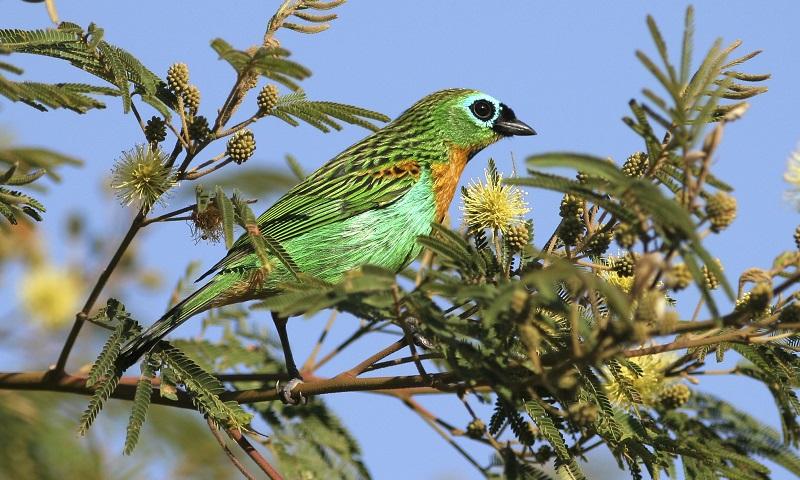 guia de aves da Floresta Atlântica