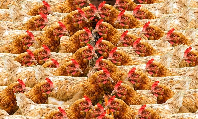 Em decisão histórica, Califórnia aprova lei de proteção para galinhas, porcos e bezerros