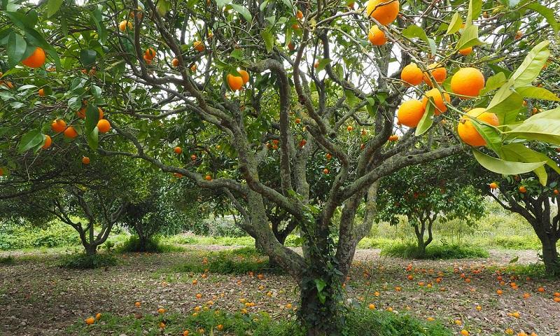 madeira de laranjeira