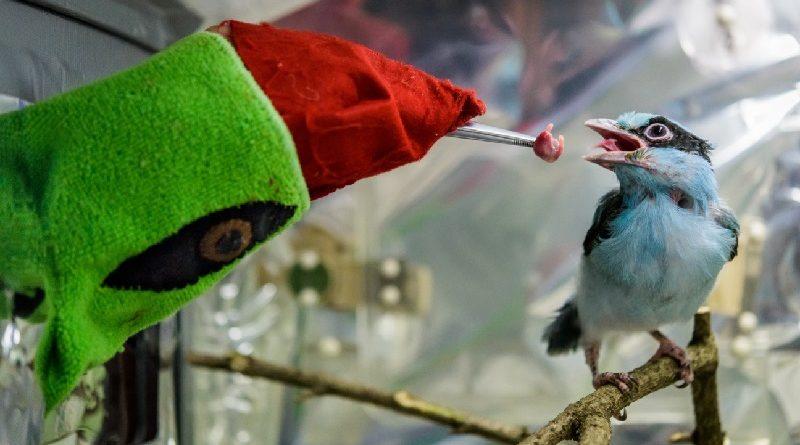 Fantoche é usado para alimentar filhote de ave, em risco de extinção, abandonado pelos pais